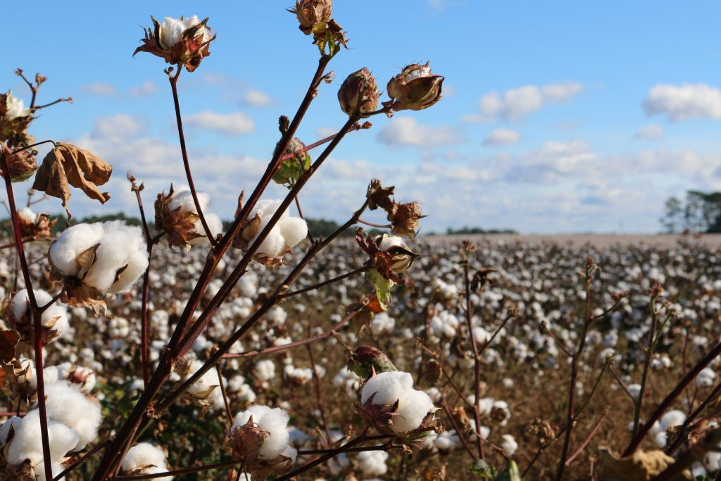 Cotton plants in a cotton field with blue skies - sustainability and cotton